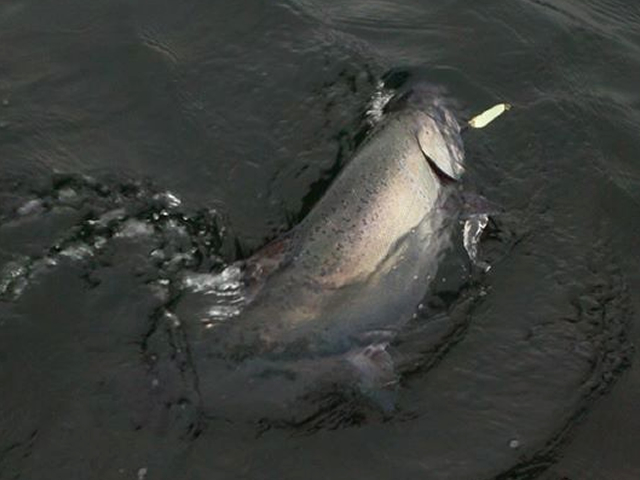 King Salmon Hooked